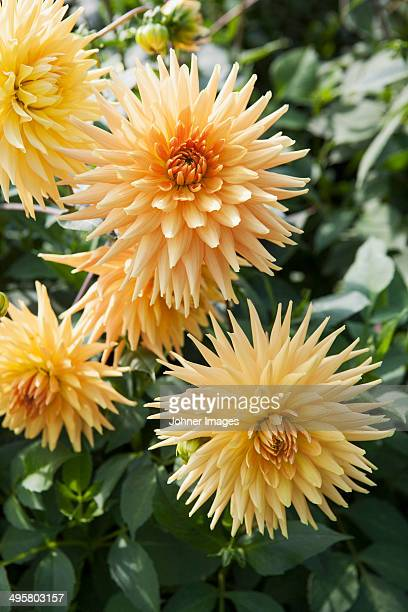 Close-up of orange dahlias