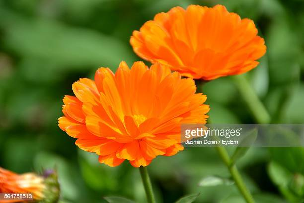 Close-Up Of Orange Field Marigold Flower