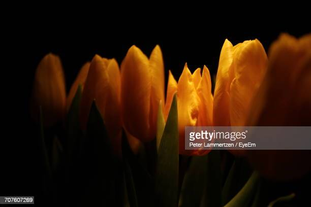 Close-Up Of Orange Flowers Against Black Background