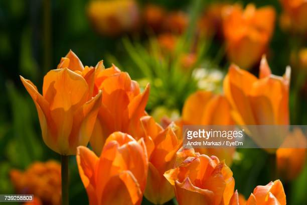 Close-Up Of Orange Flowers Blooming In Park