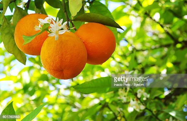 Close-Up Of Orange Fruits Growing On Tree