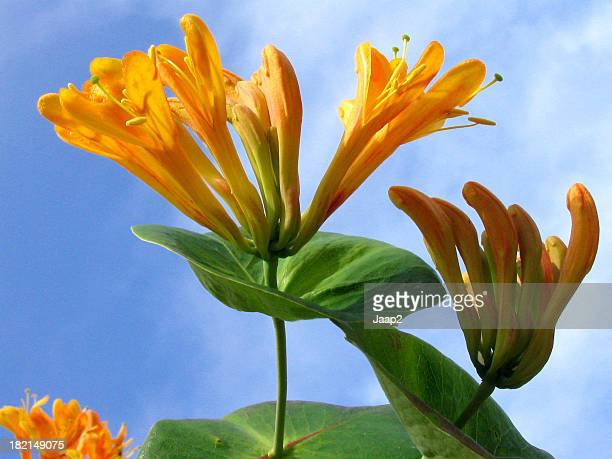 Close-up of orange honeysuckle flowerheads against a blue sky