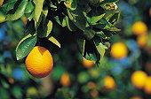 Close-up of Orange in Grove