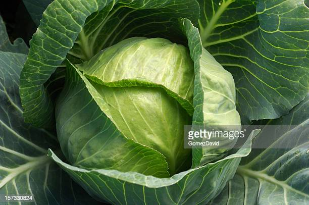 Close-up of Organic Cabbage Growing in Coastal Field