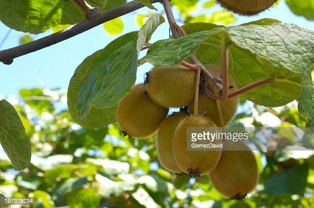 Nahaufnahme der organischen Kiwi Frucht auf Vines