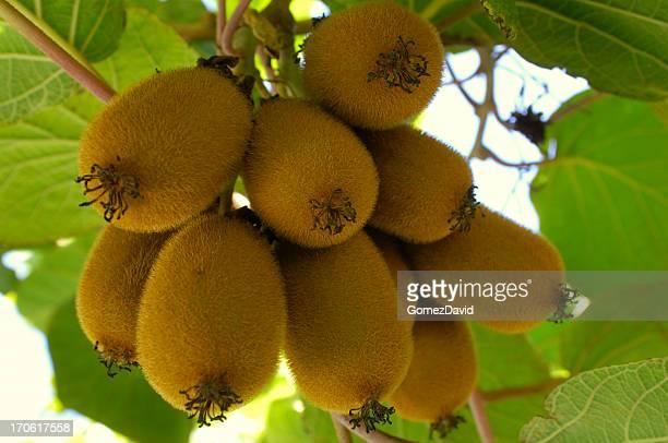 Close-up of Organic Kiwi Fruit on Vines