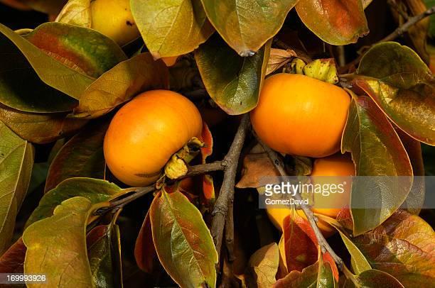 クローズアップのオーガニックフルーツ木の枝にパーシモン