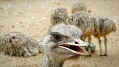 Close-Up Of Ostrich Chicks In Zoo