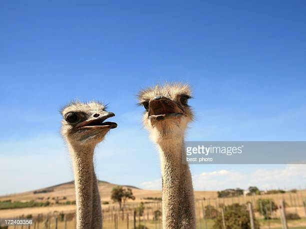Close-up of ostrich faces on a sunny day