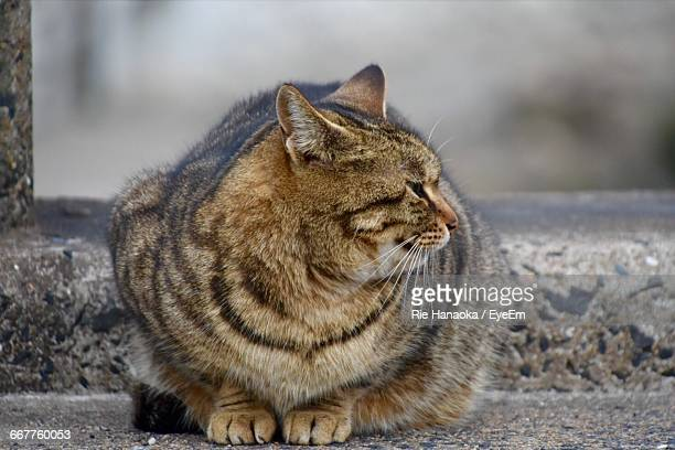 Close-Up Of Overweight Cat Resting On Footpath