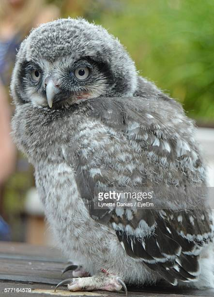 Close-Up Of Owlet Perching On Table