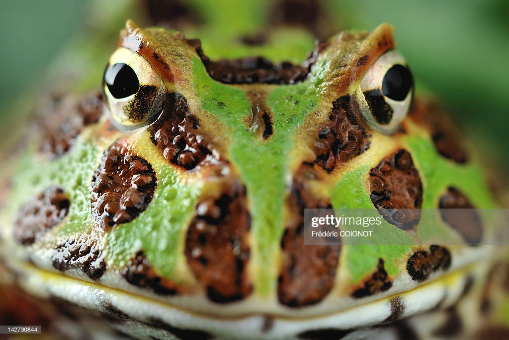 Close-up of pacman frog : Stock Photo
