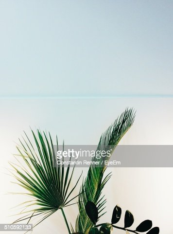 Close-up of palm fronds against clear sky