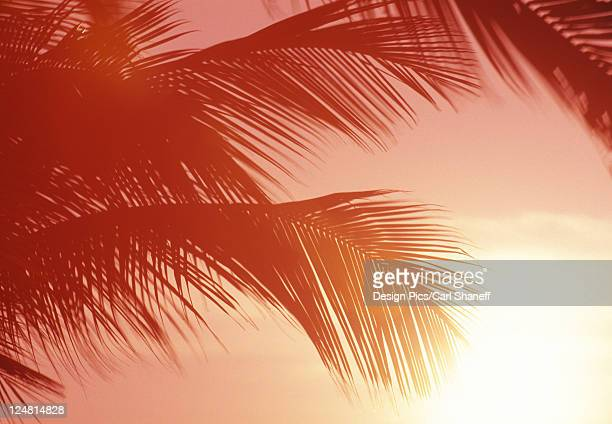 Close-up of palm fronds at sunset, reddish cast