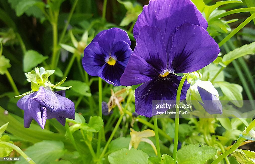 Close-Up Of Pansies Blooming On Field