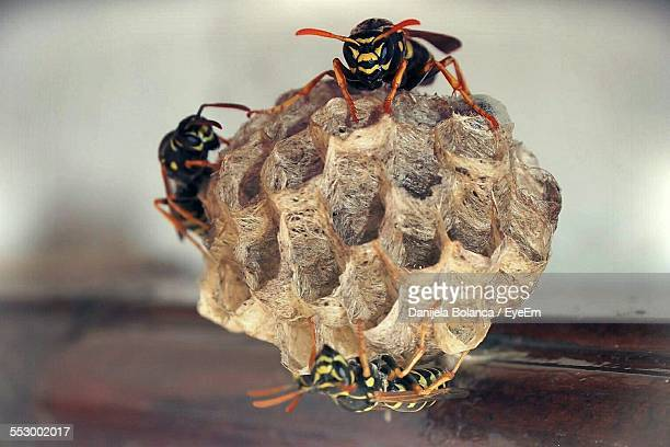 Close-Up Of Paper Wasp With Beehive