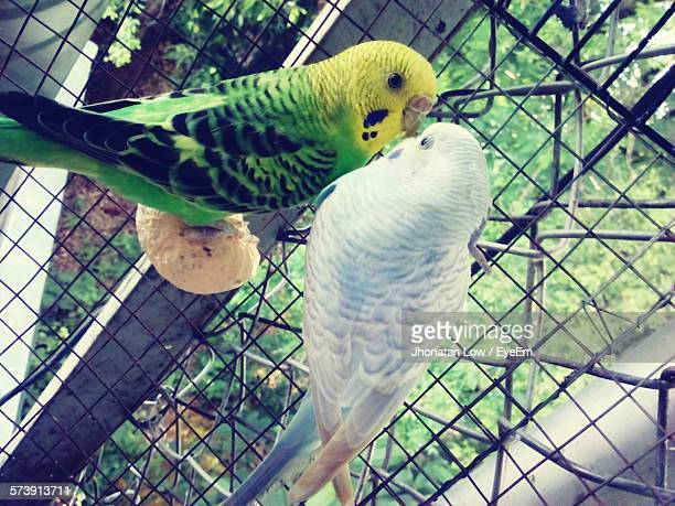 Close-Up Of Parakeets Perching In Cage