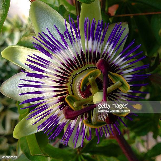 how to grow passion flower