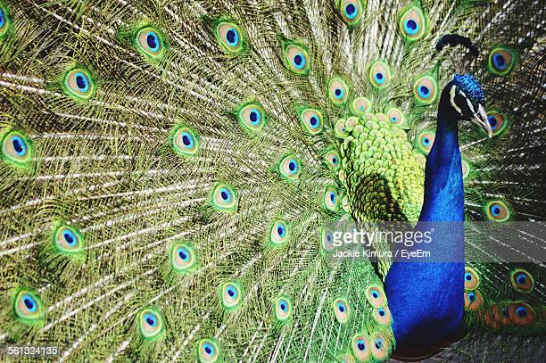 Close-Up Of Peacock With Feathers Spread Out