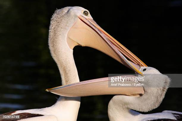 Close-Up Of Pelican On Black Background