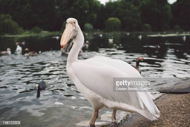 Close-Up Of Pelicans At Lakeshore