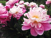 Close-Up Of Peonies Blooming In Lawn