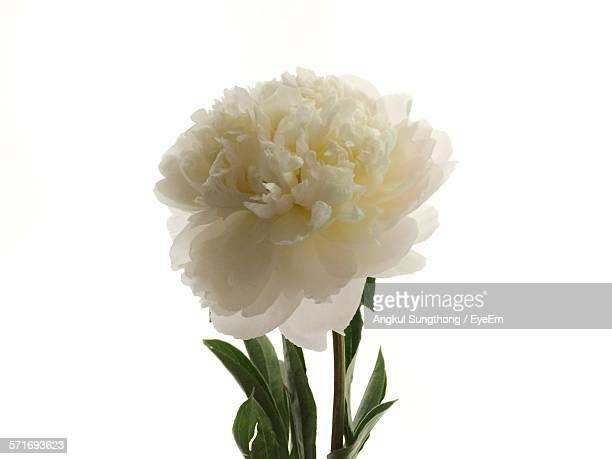 Close-Up Of Peony Against White Background