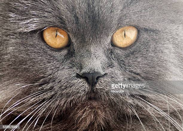 Close-up of persian cat