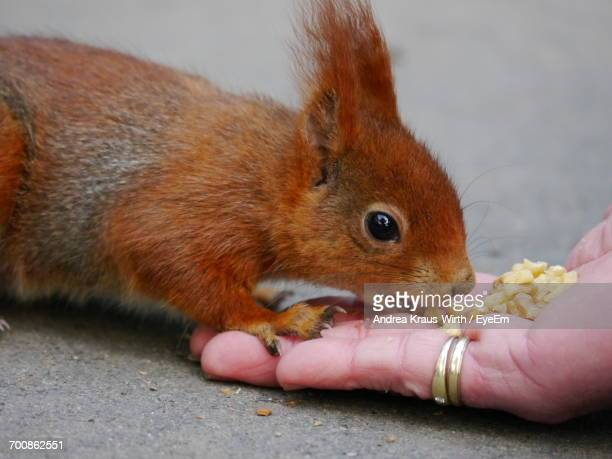 Close-Up Of Person Feeding Squirrel