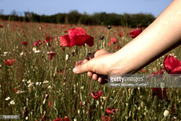 Close-Up Of Person Picking Red Poppy Flower