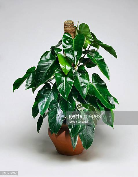 Closeup of Philodendron Emerald Queen plant