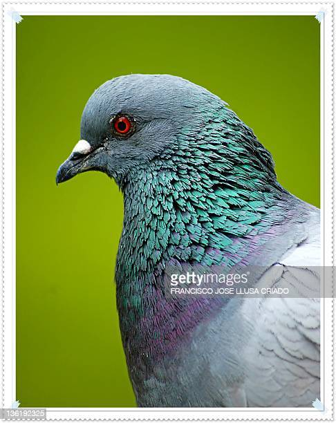 Close-up of pigeon against green back ground