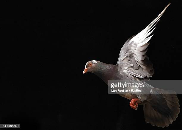 Close-Up Of Pigeon Flying Against Black Background