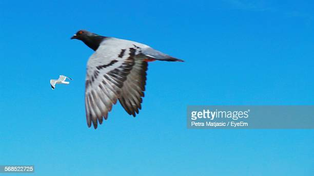 Close-Up Of Pigeon Flying In Clear Sky