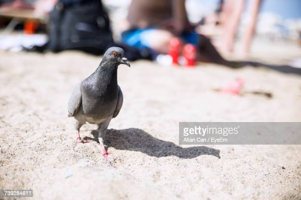 Close-Up Of Pigeon On Sand