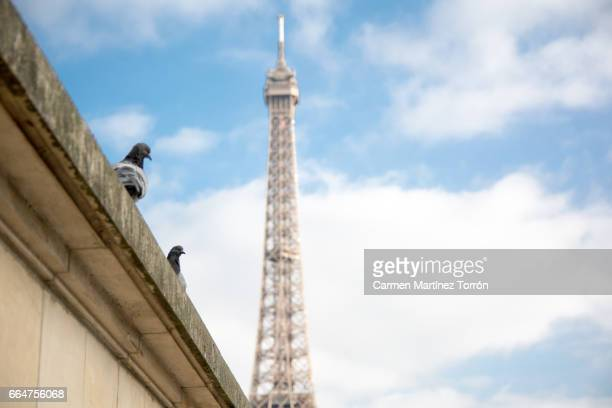 Close-Up of Pigeon on wall against Eiffel Tower, Paris.