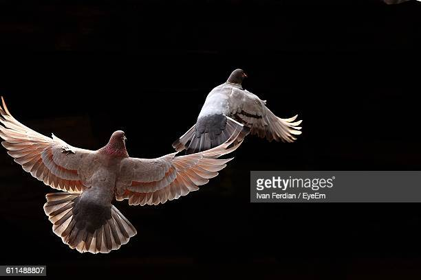 Close-Up Of Pigeons Flying Against Black Background