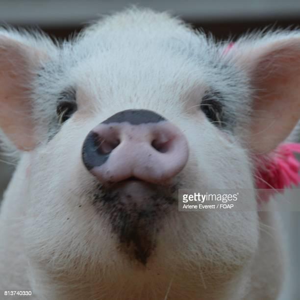 Close-up of piggy face