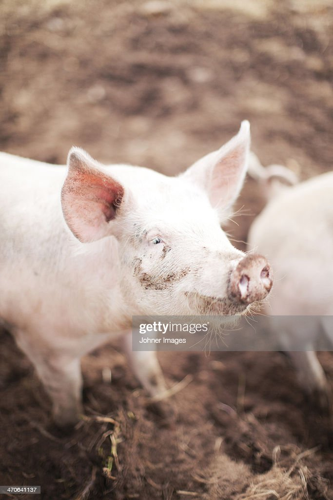Close-up of piglet : Stock Photo
