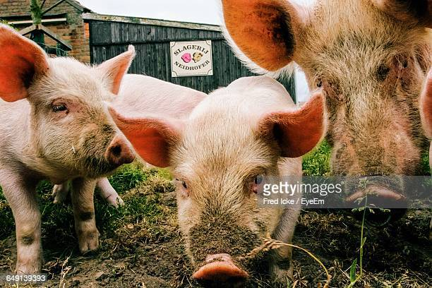 Close-Up Of Pigs On Field