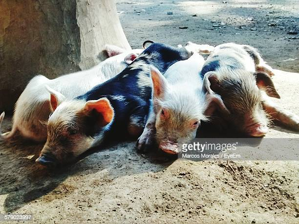 Close-Up Of Pigs Resting On Street
