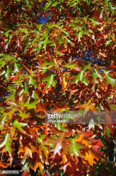 Close-up of pin oak leaves turning orange and red in the Autumn sun in Canberra, Australian Capital Territory, Australia