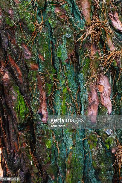 Close-up of pine tree bark covered with green moss and lichen