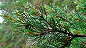 Close-up of pine tree branch.