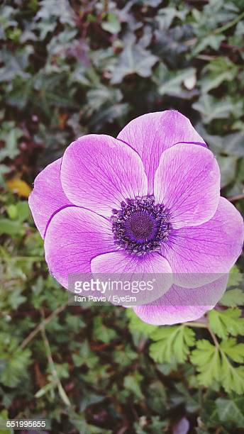 Close-Up Of Pink Anemone Flower