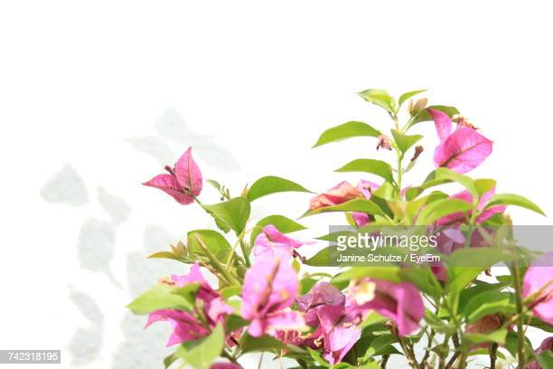 Close-Up Of Pink Bougainvillea Blooming Against Sky