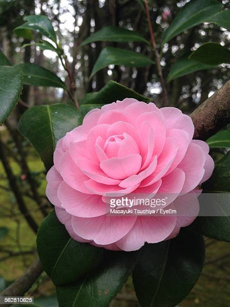 Close-Up Of Pink Camellia Flower