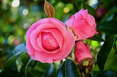 Close-Up Of Pink Camellias Blooming In Lawn