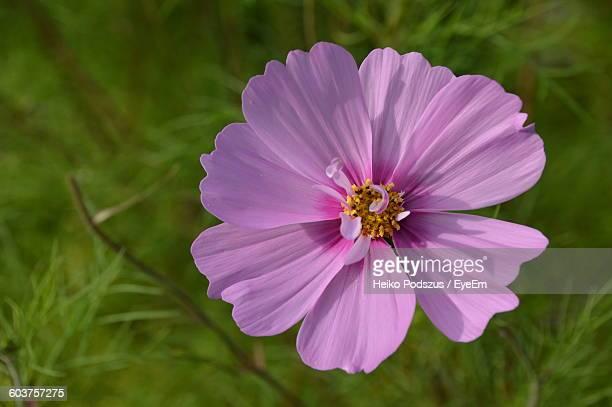 Close-Up Of Pink Cosmos Blooming In Park