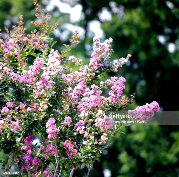 Close-up of pink crepe myrtles flowers